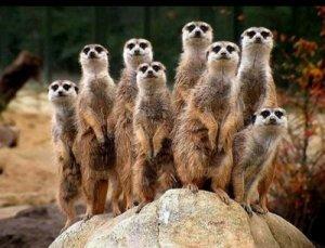 comunidad suricata